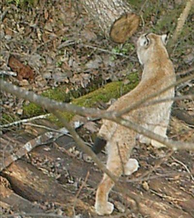 В заповеднике «Калужские засеки» в объектив фотоловушки попала рысь