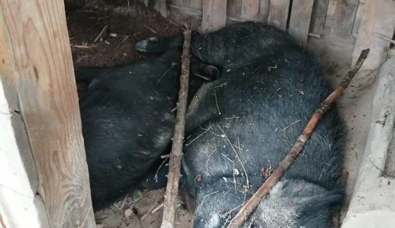Преступная безответственность владельцев свиней!