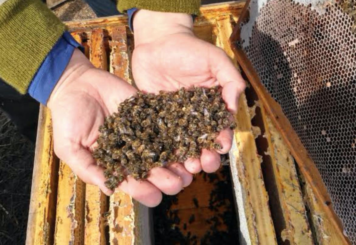 Пчелы гибнут. Почему?